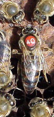 ملکه زنبور عسل نژاد آلمانی