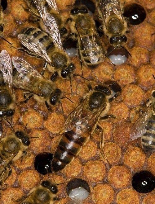 ملکه زنبور عسل نژاد قفقازی