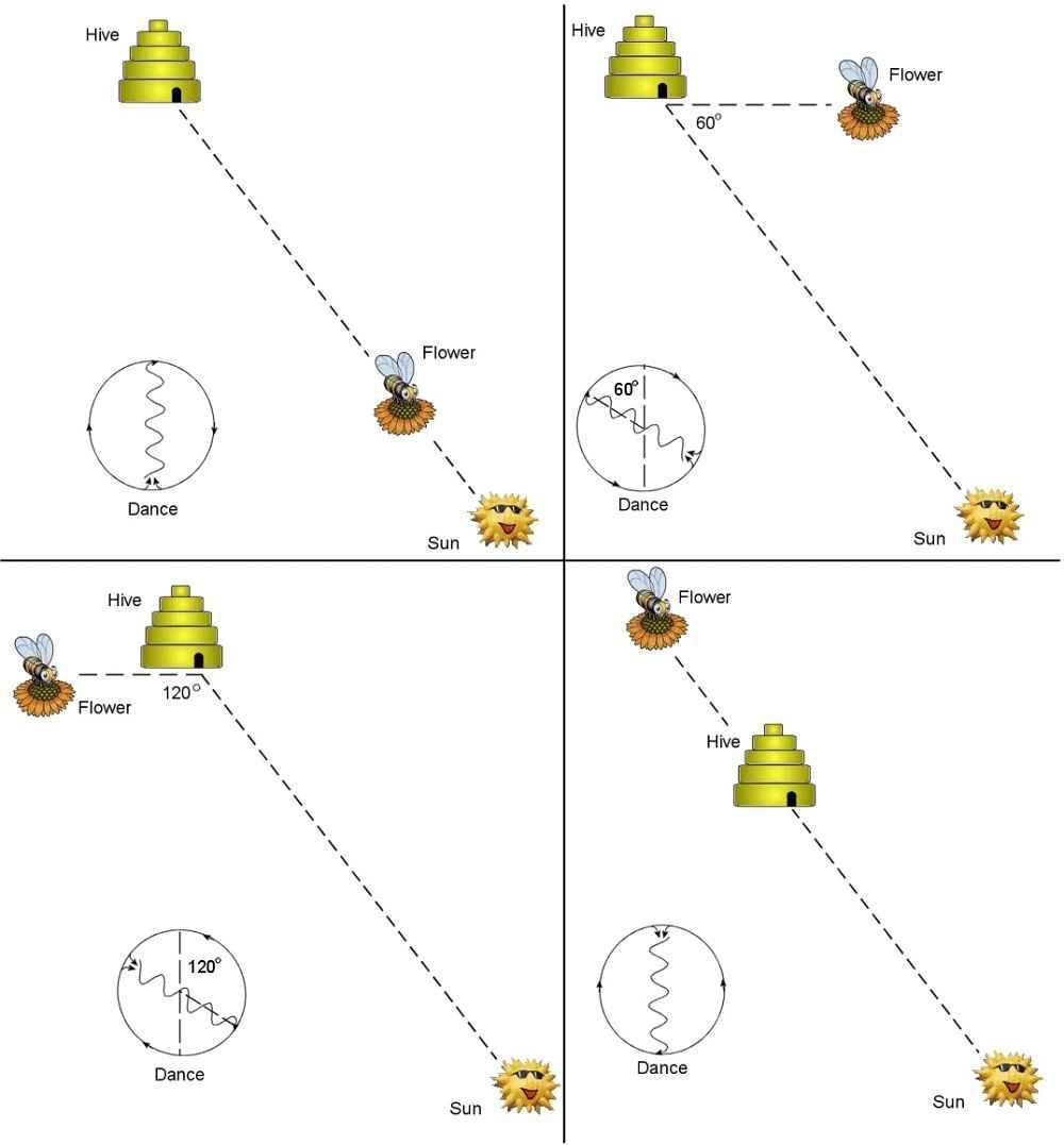 انواع رقص زنبور عسل