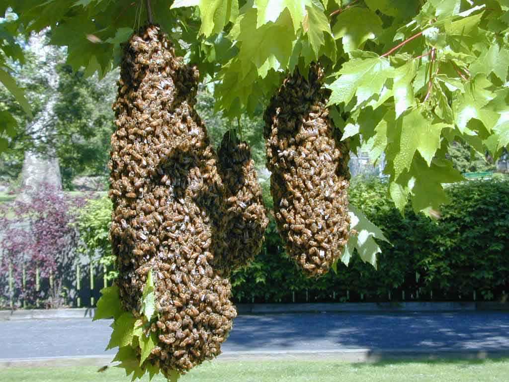 بچه ی زنبور عسل روی شاخه درخت
