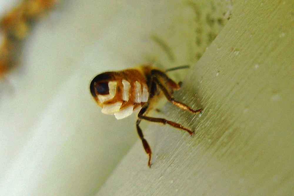ترشح موم توسط زنبور عسل کارگر