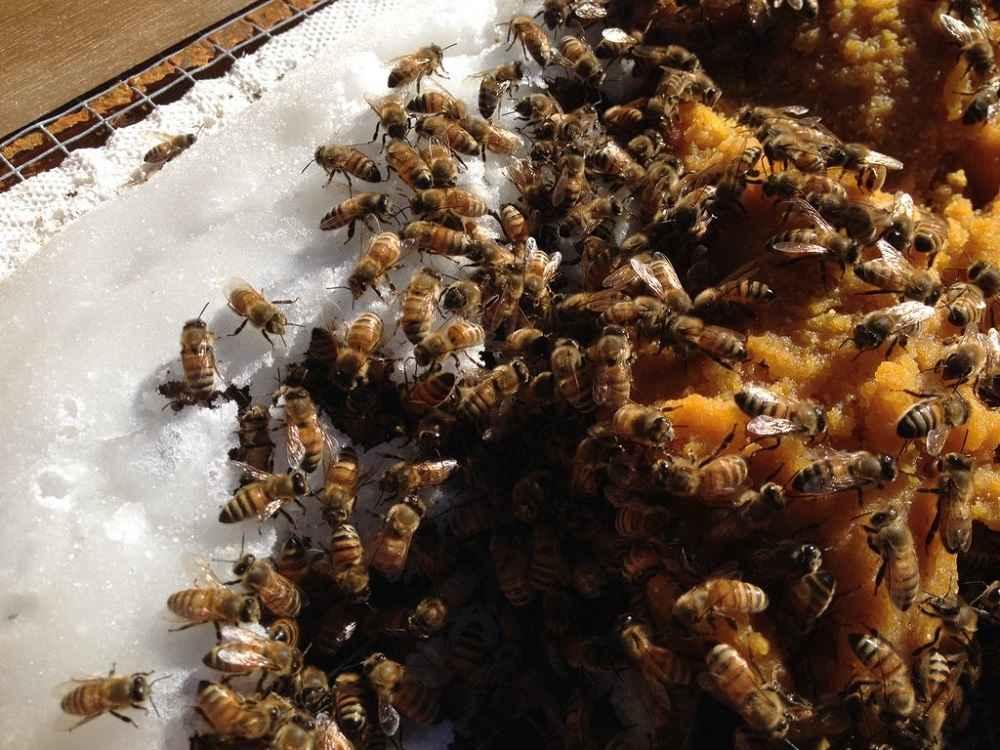 تغذیه زنبور عسل از کیک گرده