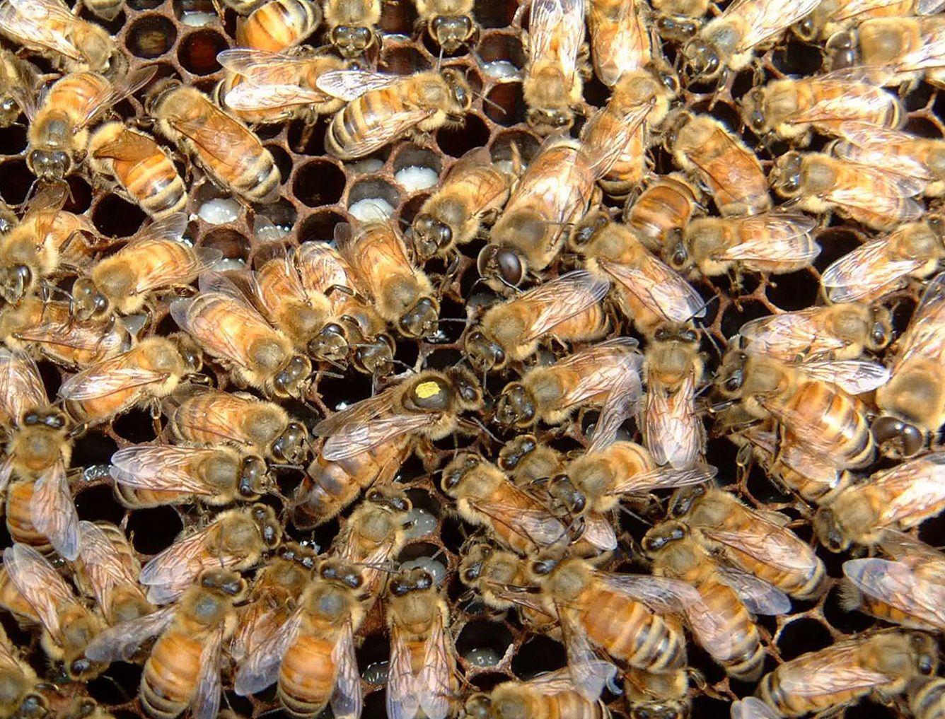 تغذیه ملکه توسط زنبورهای پرستار