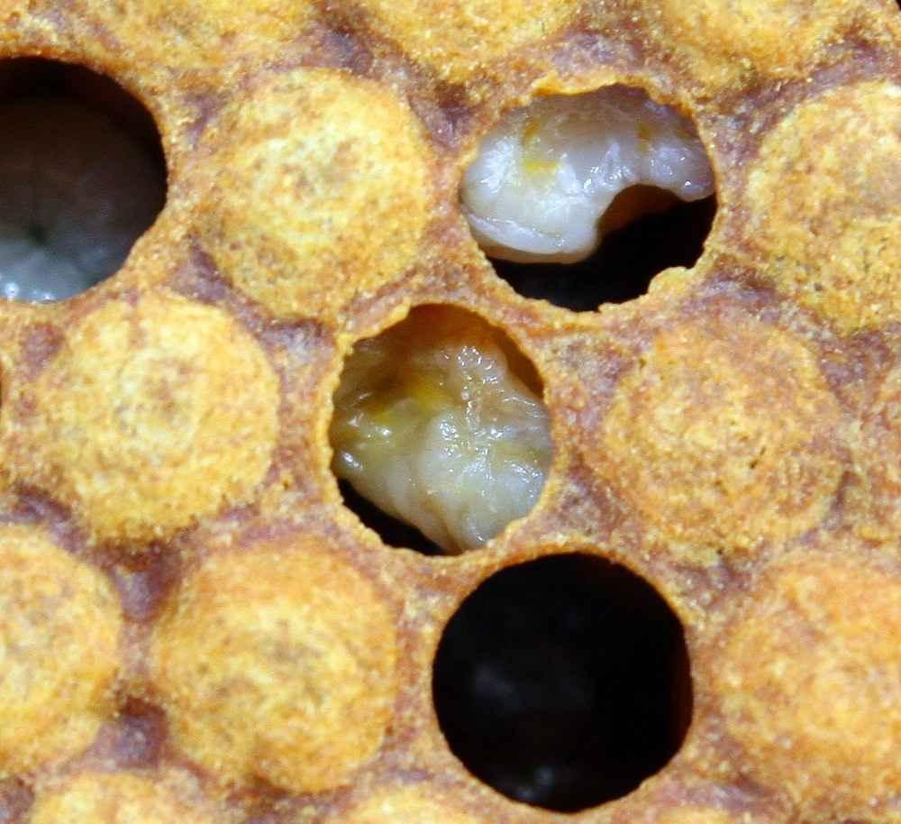 جسد لارو زنبور عسل مبتلا به بیماری لوک اروپایی