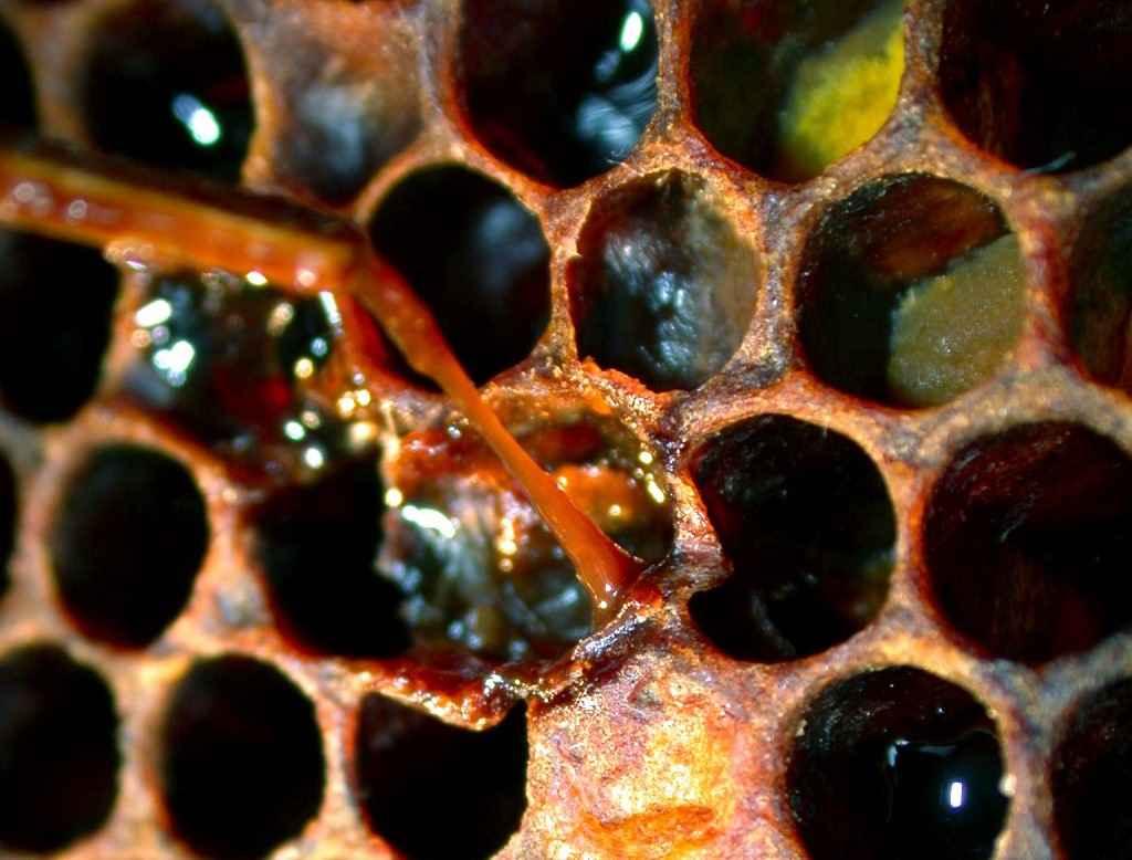 جسد لزج لارو زنبور عسل مبتلا به بیماری لوک آمریکایی