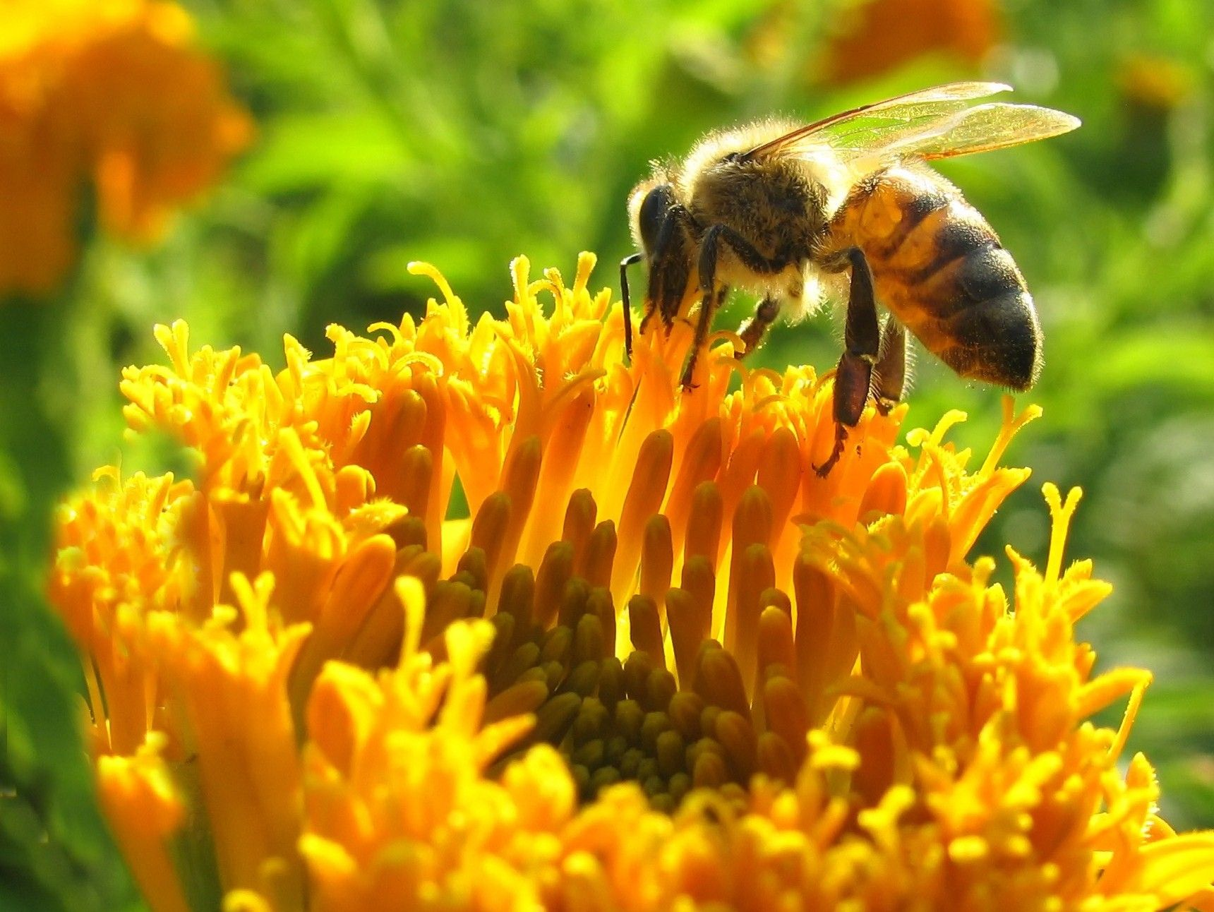 جمع آوری شهد توسط زنبور عسل