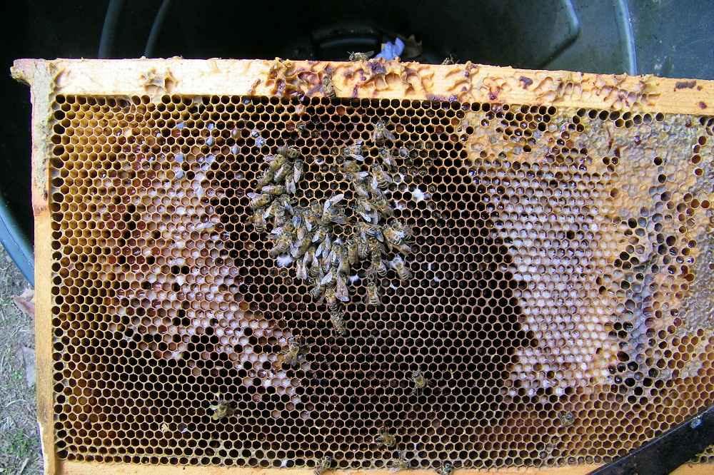 خوشه زمستانه زنبورها در وسط قاب