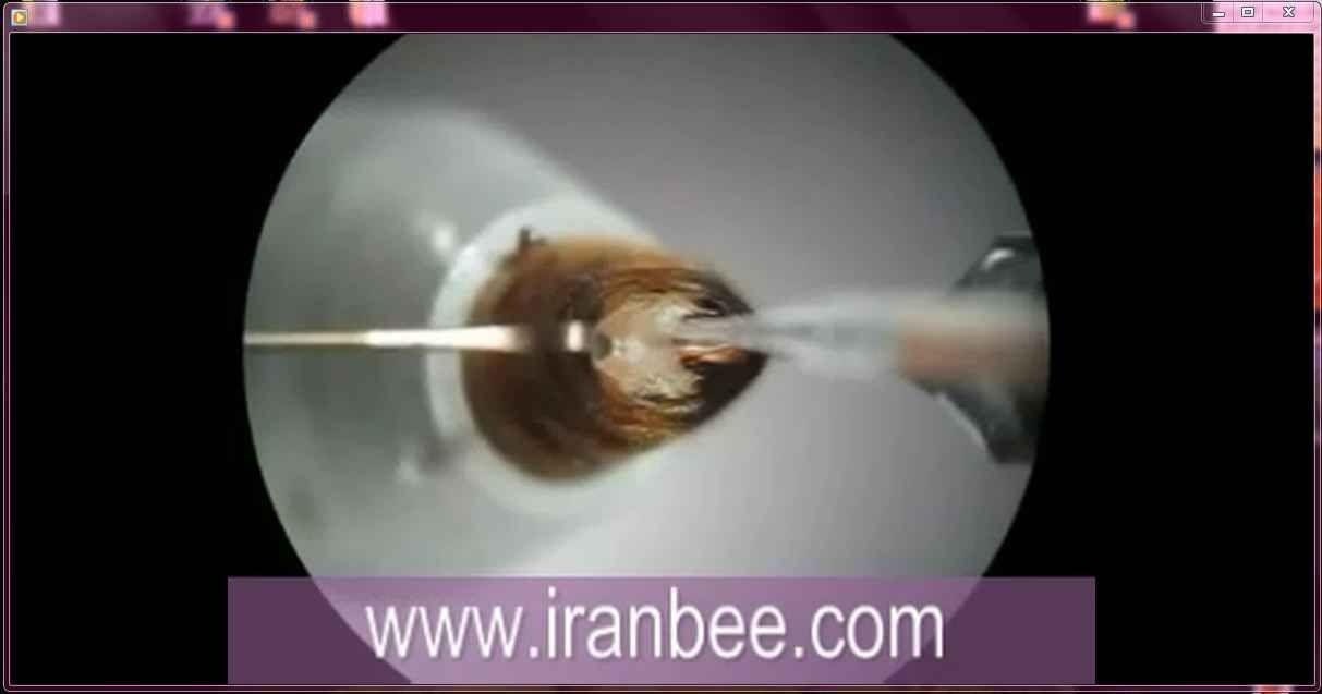 دانلود فیلم تلقیح مصنوعی ملکه زنبور عسل سری دوم
