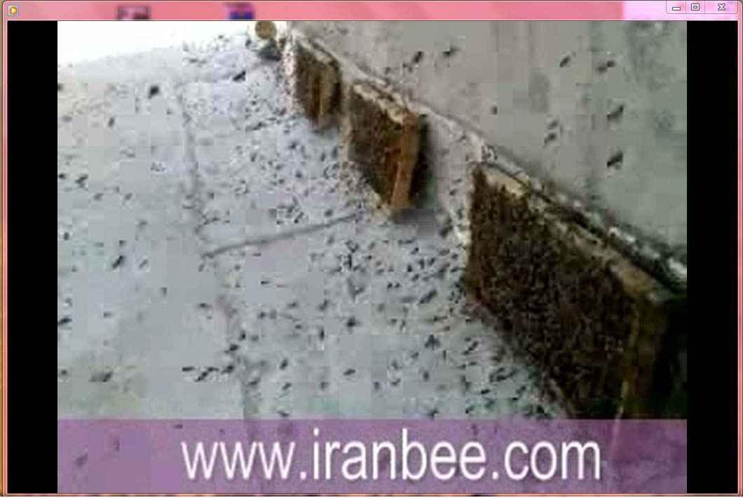 دانلود فیلم غارت عسل توسط زنبور عسل