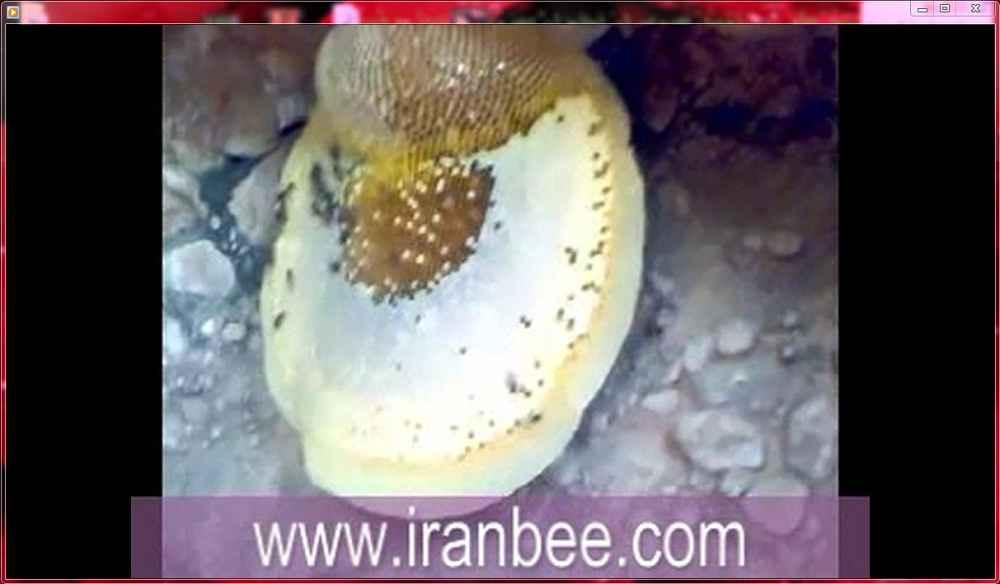 دانلود فیلم لانه طبیعی زنبور عسل وحشی در غار