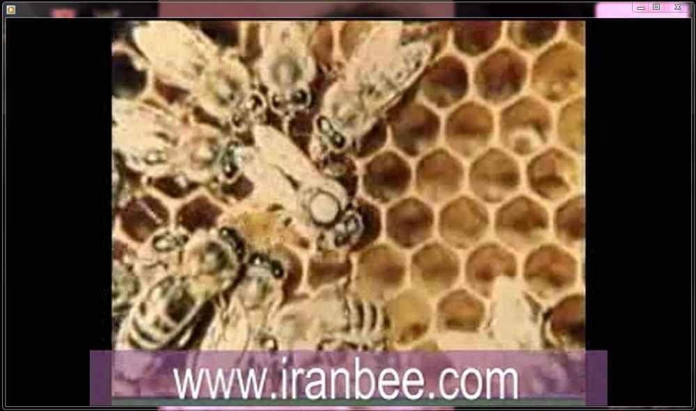 دانلود فیلم لحظه تخمگذاری ملکه زنبور عسل