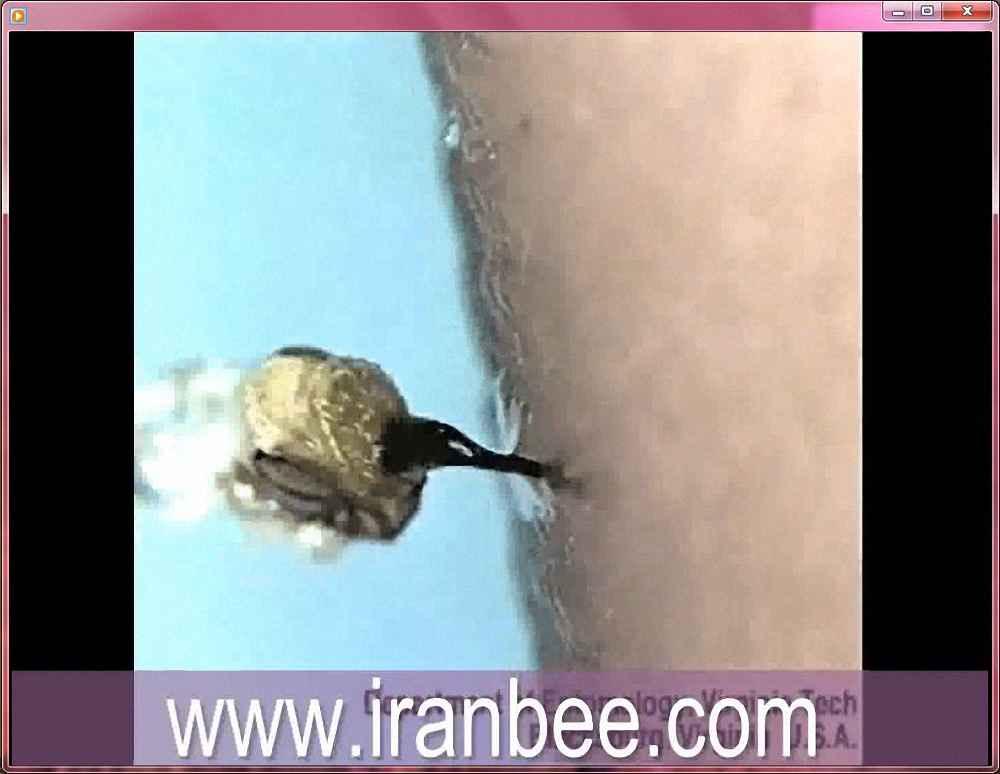 دانلود فیلم لحظه نیش زدن زنبور عسل به انسان