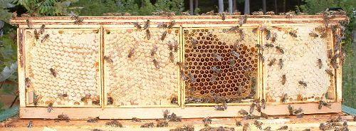 روش تولید انواع عسل شان-15
