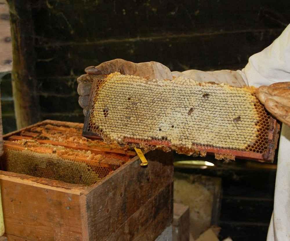 زمان برداشت شان پر از عسل