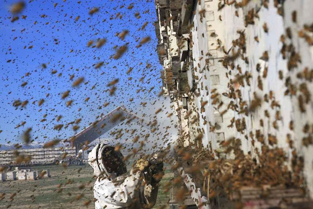 زنبورداری مهاجرتی و تجاری