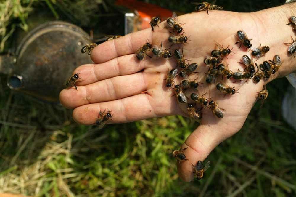 زنبورهای نر برای اسپرم گیری