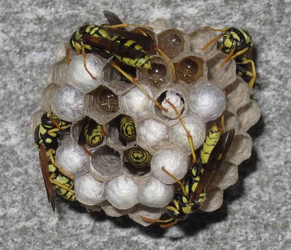 زنبور زرد با لانه کاغذی