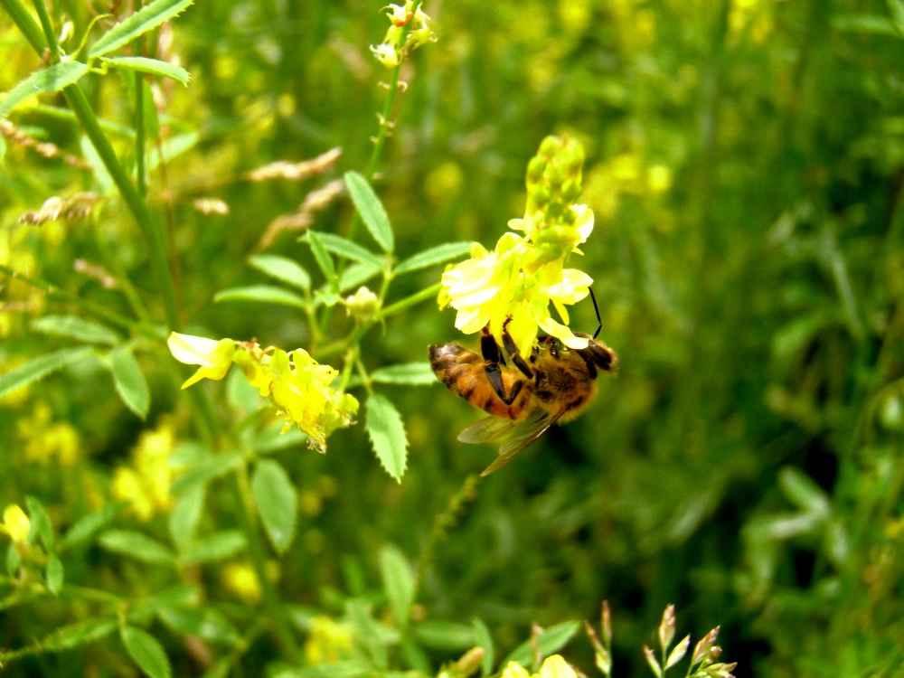 زنبور عسل روی گل یونجه