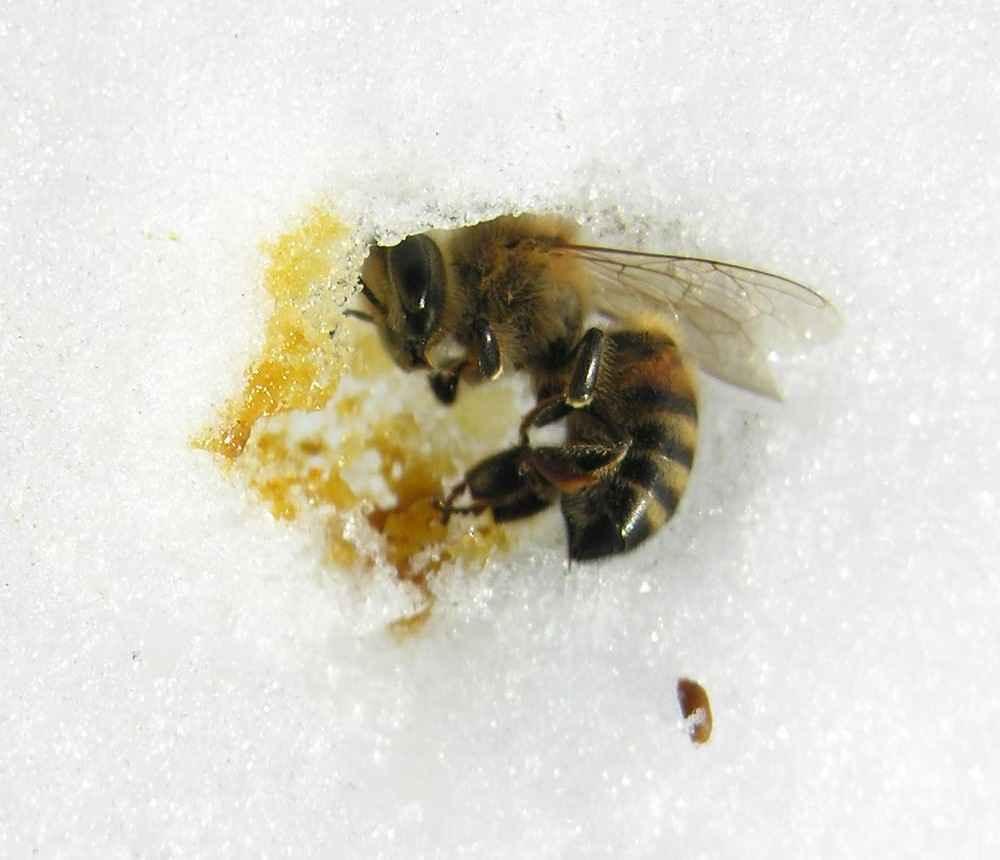 زنبور عسل مرده در زمستان