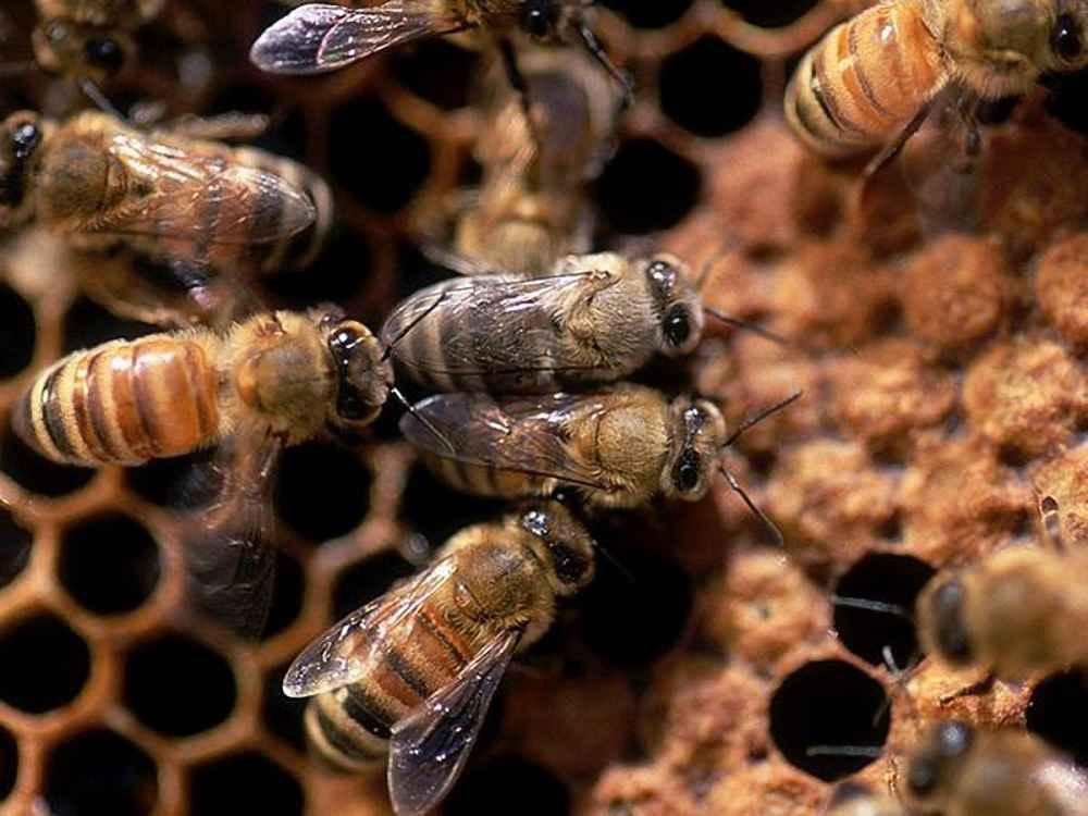 زنبور عسل های کارگر از نژادهای مختلف