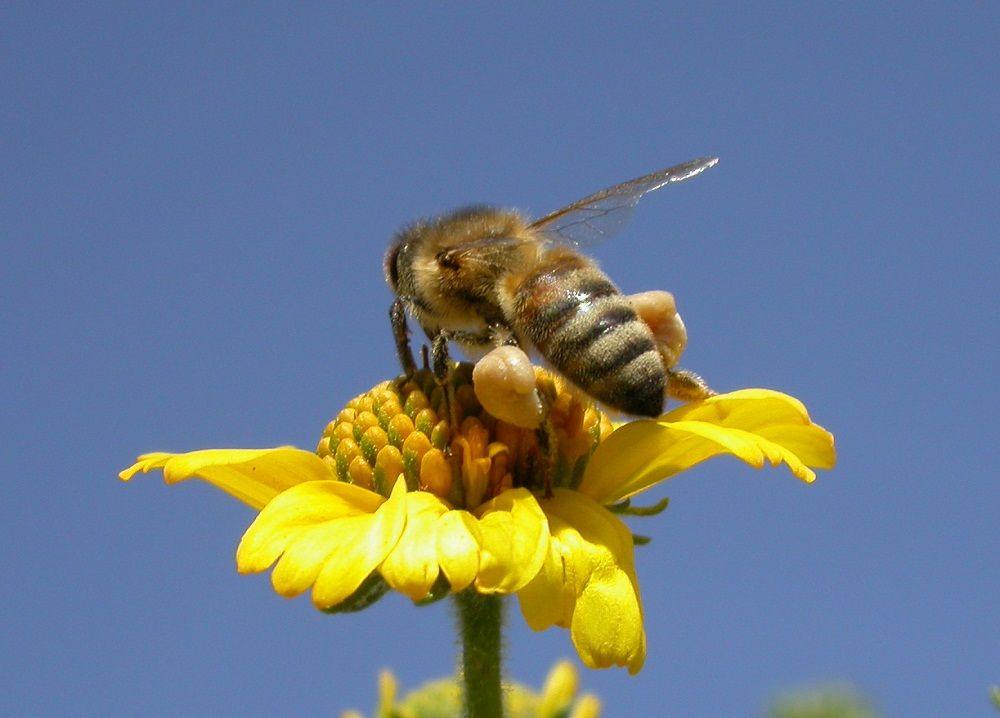 زنبور عسل کارگر با سبد گرده پر