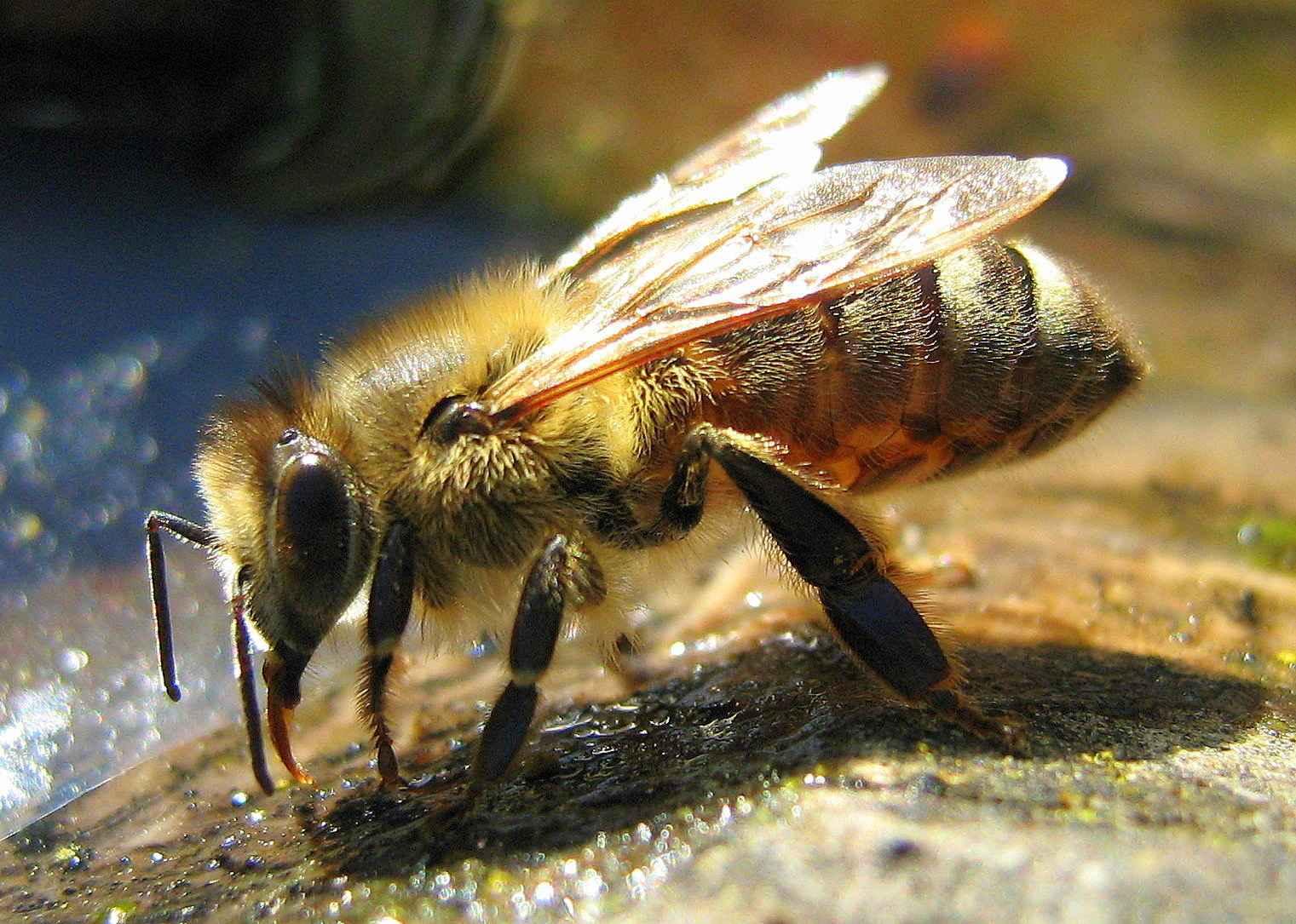 زنبور عسل کارگر در حال جمع آوری آب