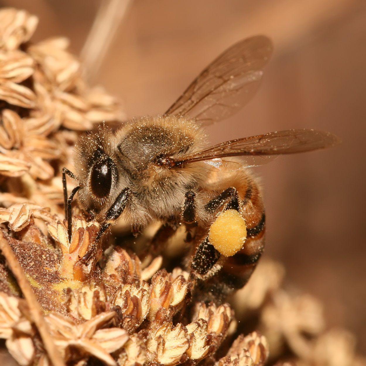 زنبور کارگر در حال جمع آوری گرده گل