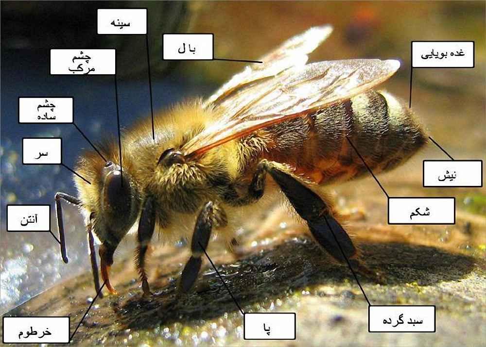 ساختمان بدن زنبورعسل
