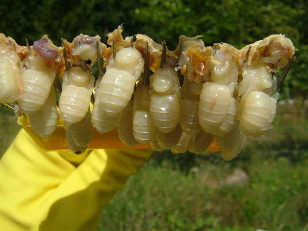 شفیره های زنبور عسل نر بدون آلودگی به کنه واروا
