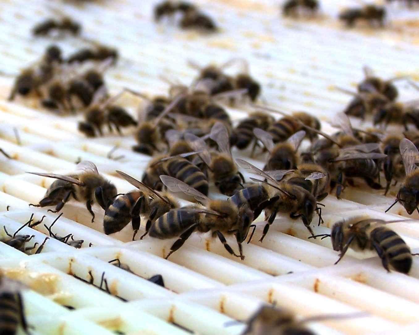عبور زنبور عسل ها از پنجره ملکه
