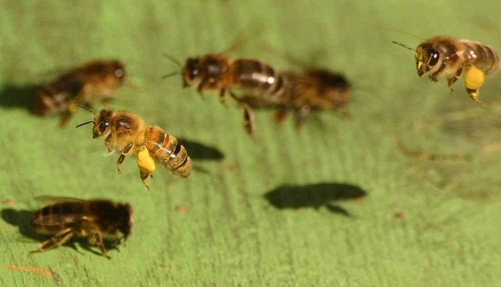 عسل و گرده آوری زنبور عسل های کارگر