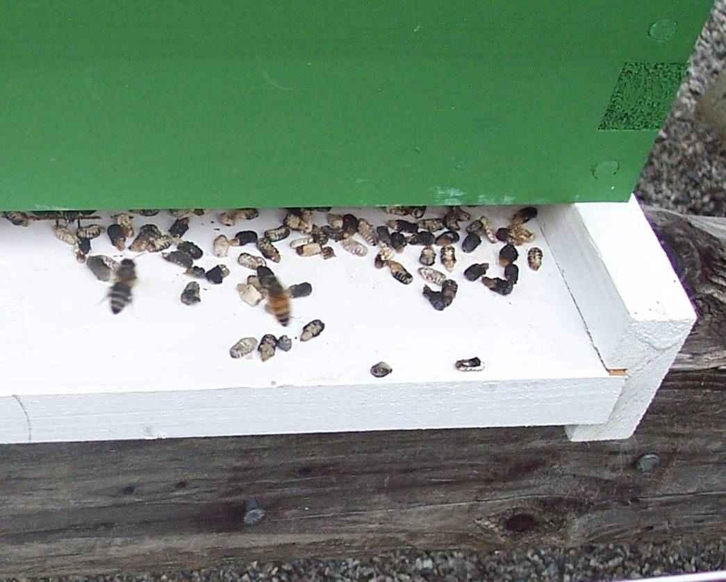 لارو های گچی شده زنبور عسل