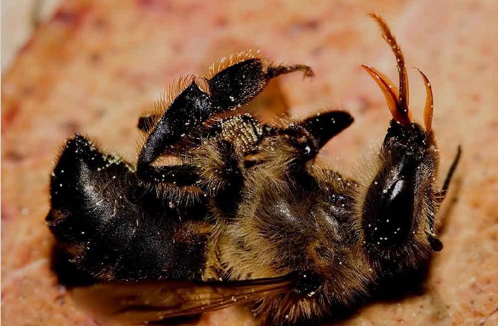 مرگ زنبور عسل