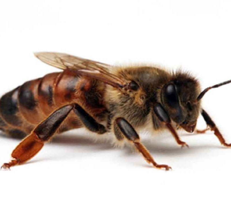 ملکه خارجی زنبور عسل نژاد کارنیکا - 1