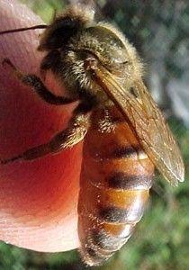 ملکه زنبور عسل نژاد آفریقایی