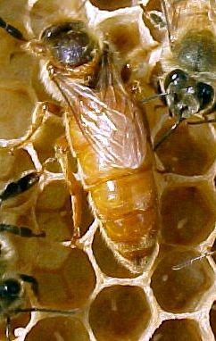 ملکه زنبور عسل نژاد ایتالیایی
