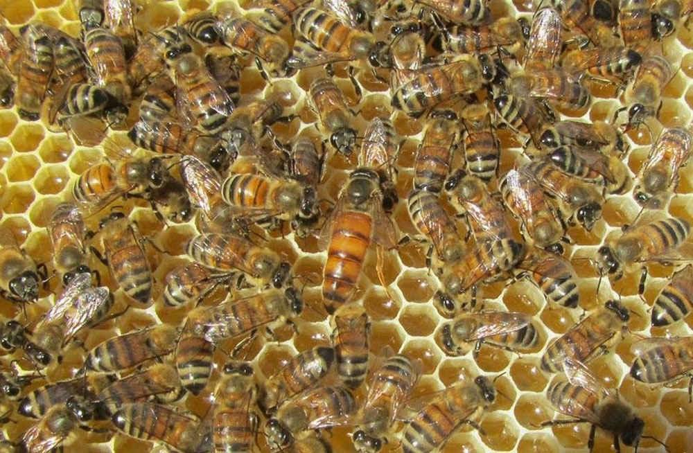 ملکه زنبور عسل نژاد ایرانی