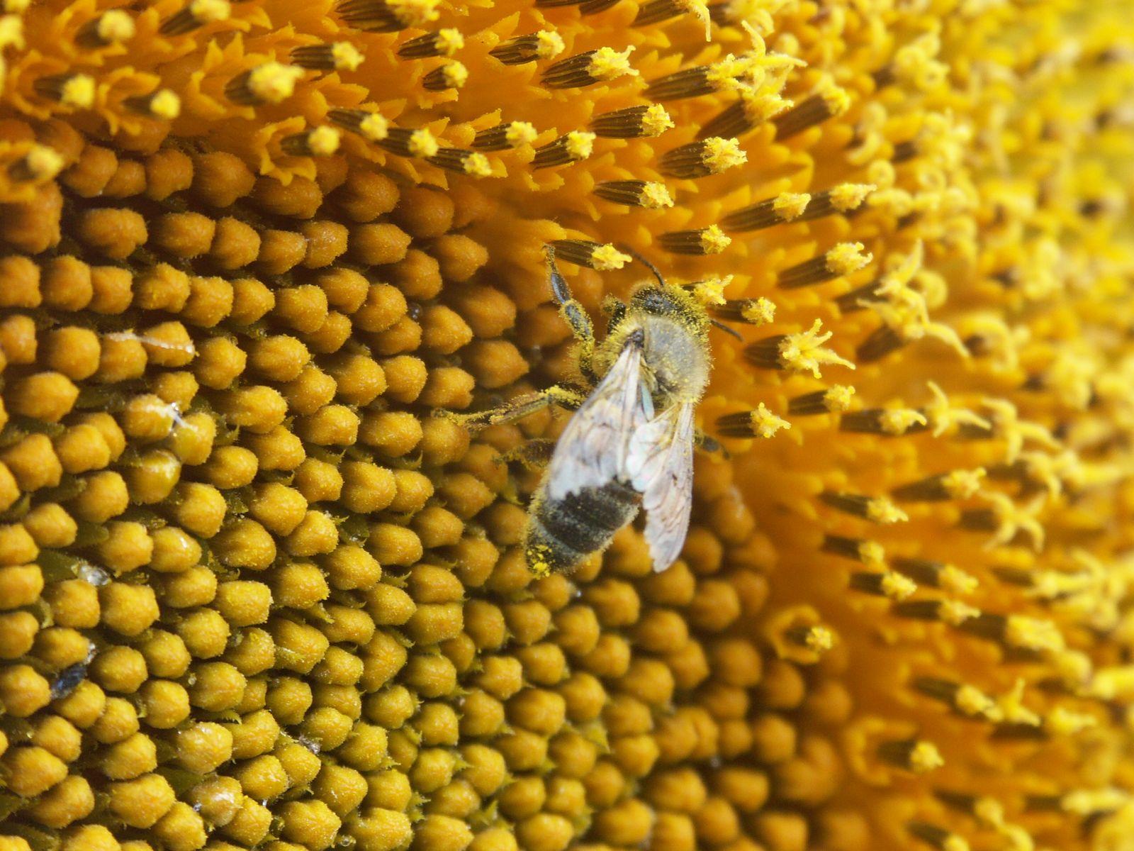 گرده افشانی گل آفتابگردان توسط زنبور عسل