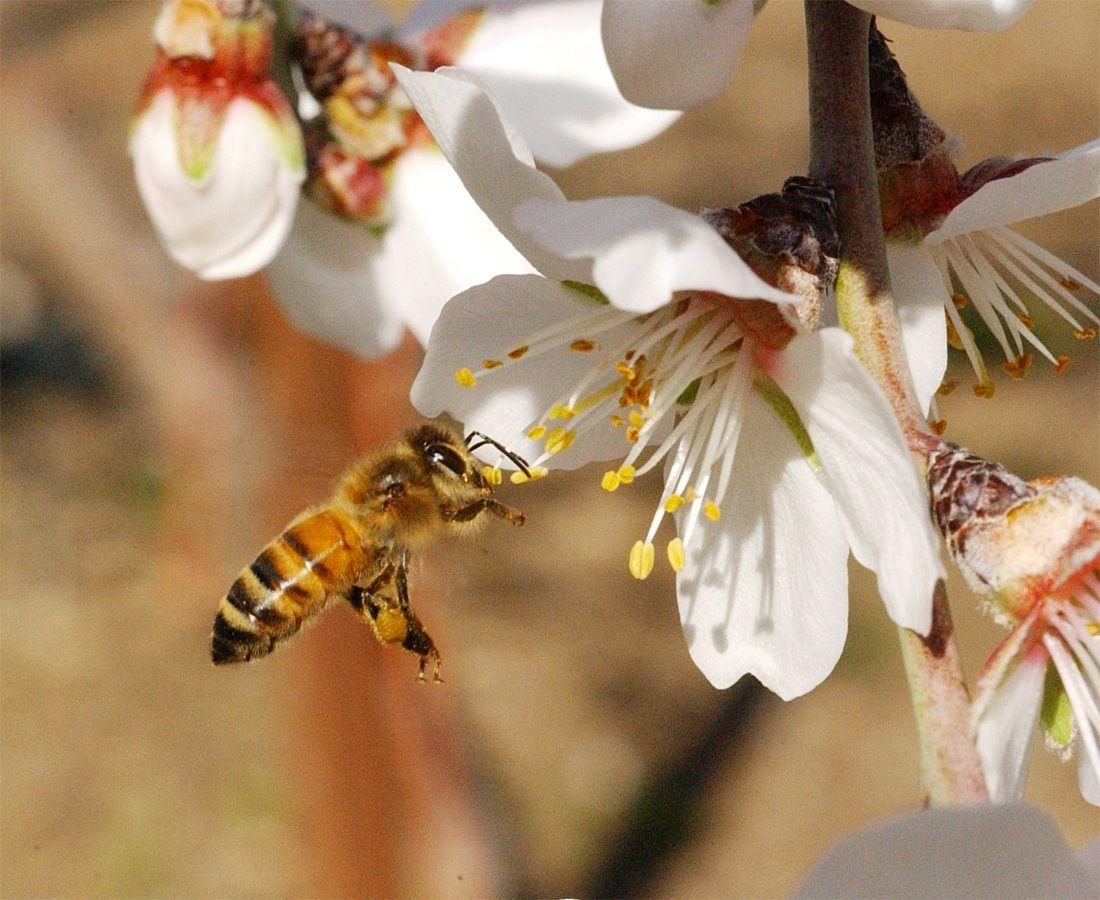گرده افشانی گل های درختان میوه توسط زنبور عسل