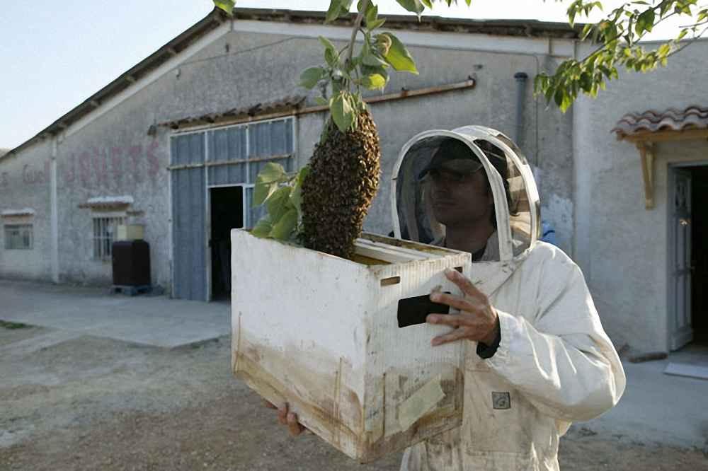 گرفتن بچه کندوی زنبور عسل از روی شاخه درخت