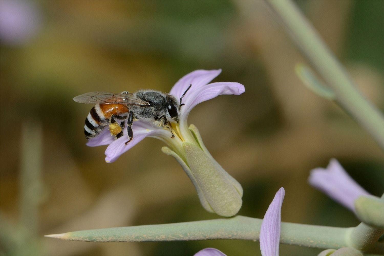 زنبور عسل کوچک
