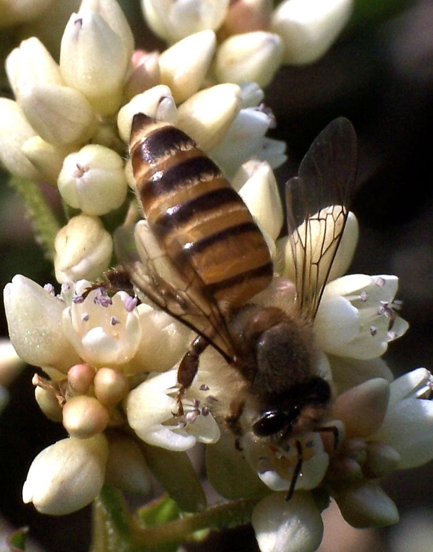 زنبور عسل شرقی یا هندی
